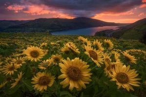 Бесплатные фото Sunrise in Oregon, горы, река, поле, закат, подсолнухи, цветы