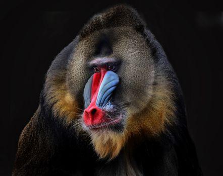 Photo free Baboon, baboon, monkey