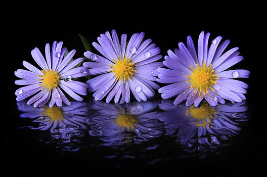 Photo free Aster, flowers, black background