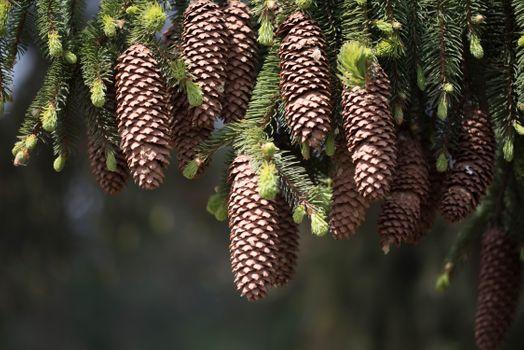 Заставки сосновые шишки, дерево, ветка