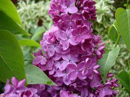 Бесплатные фото сирень,ветка,куст,листья,цветок,цветы,цветочный