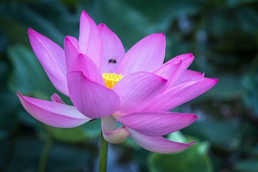 Фото бесплатно лотос, красивый цветок, цветы