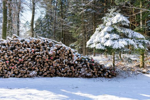 Photo free nature, winter, spruce