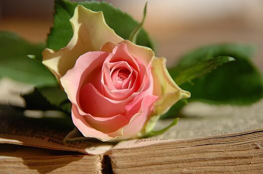 Фото бесплатно роза, цветок, лежит