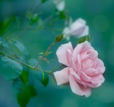 Смотреть фото роза, розы бесплатно
