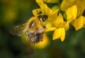 Бесплатные фото шмель,насекомое,макрос,цветок,крылья,рыжих,пчела