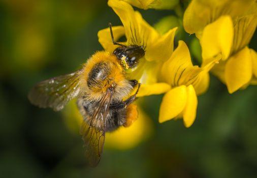 Бесплатные фото шмель,насекомое,макрос,цветок,крылья,рыжих,пчела,нектар,крылатое насекомое с мембраной,флора,пыльца,макросъемка