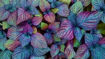 Заставки Colorful Coleus, Красочный, Колеус