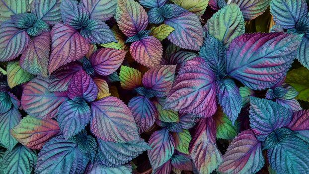 Фото бесплатно Colorful Coleus, Красочный, Колеус, растение, листья, флора, природа