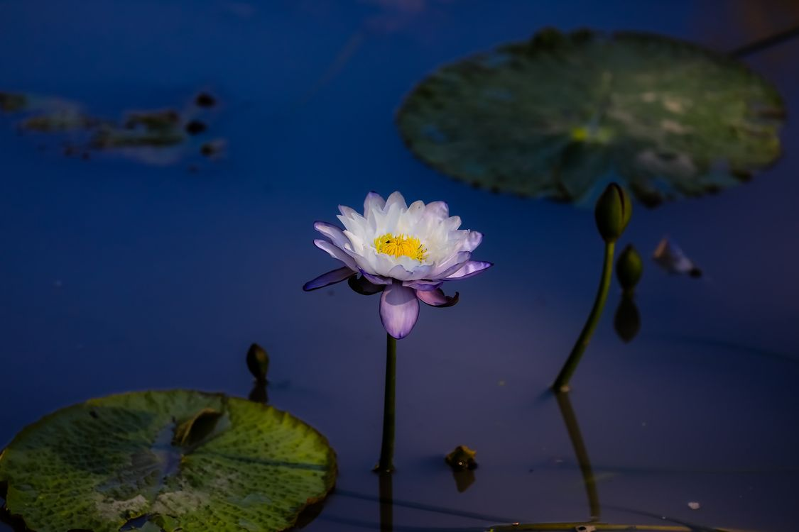 See pictures on the theme water lilies, water lilies