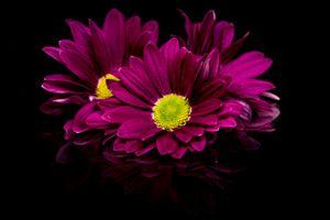 Бесплатные фото георгин,цветок,цветы,флора,цветочная композиция,чёрный фон