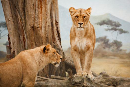 Фото бесплатно львы, большие кошки, величественная