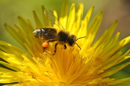 Photo free bee, yellow flower, insect