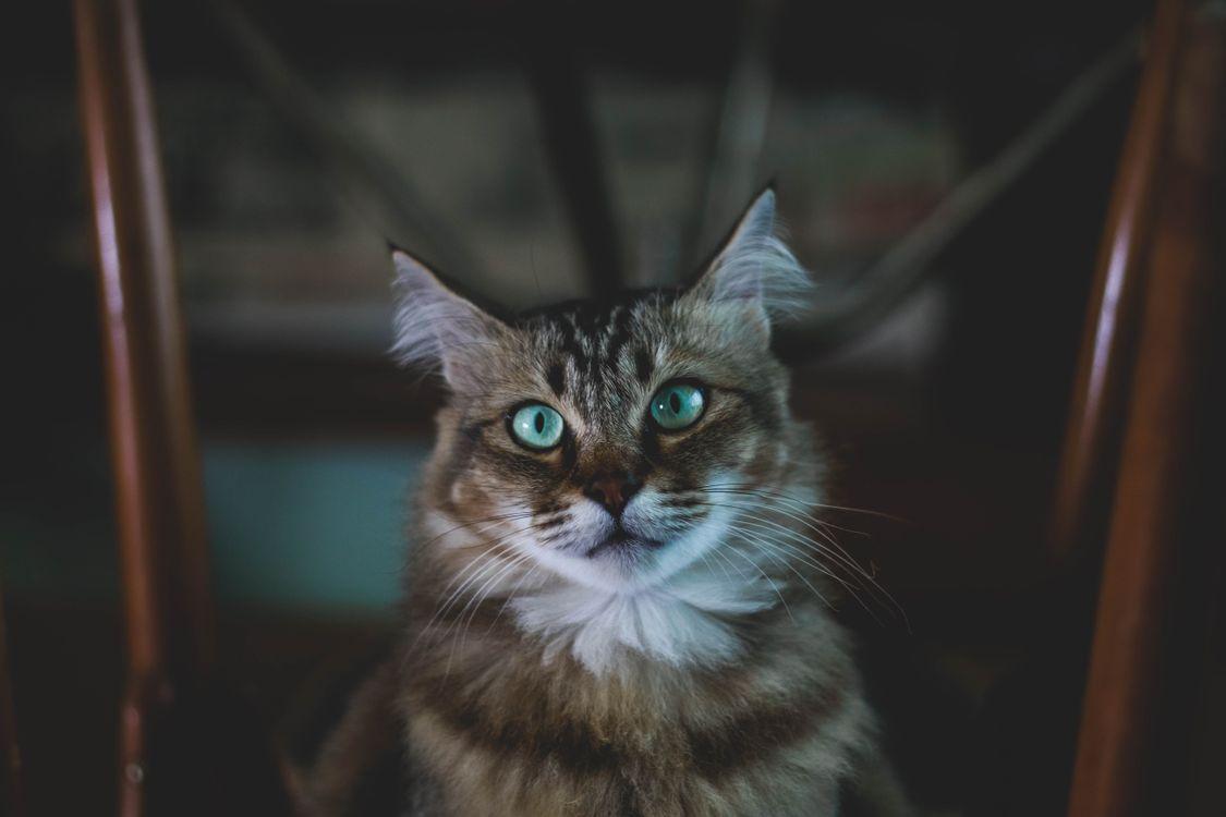 Картинка кошка, морда, пушистый, голубоглазый, cat, muzzle, fluffy, blue, eyed на рабочий стол. Скачать фото обои кошки