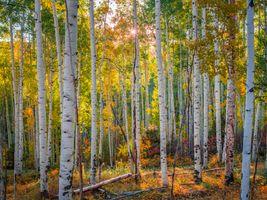 Фото бесплатно природа, США, березы
