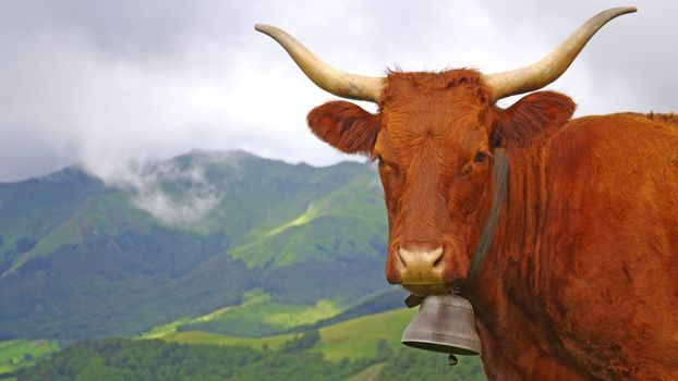 Photo free cow, horns, depth of field
