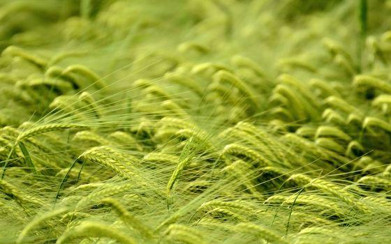 Фото бесплатно пшеница, макро, природа
