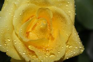 Фото бесплатно роса, роза, фотографии