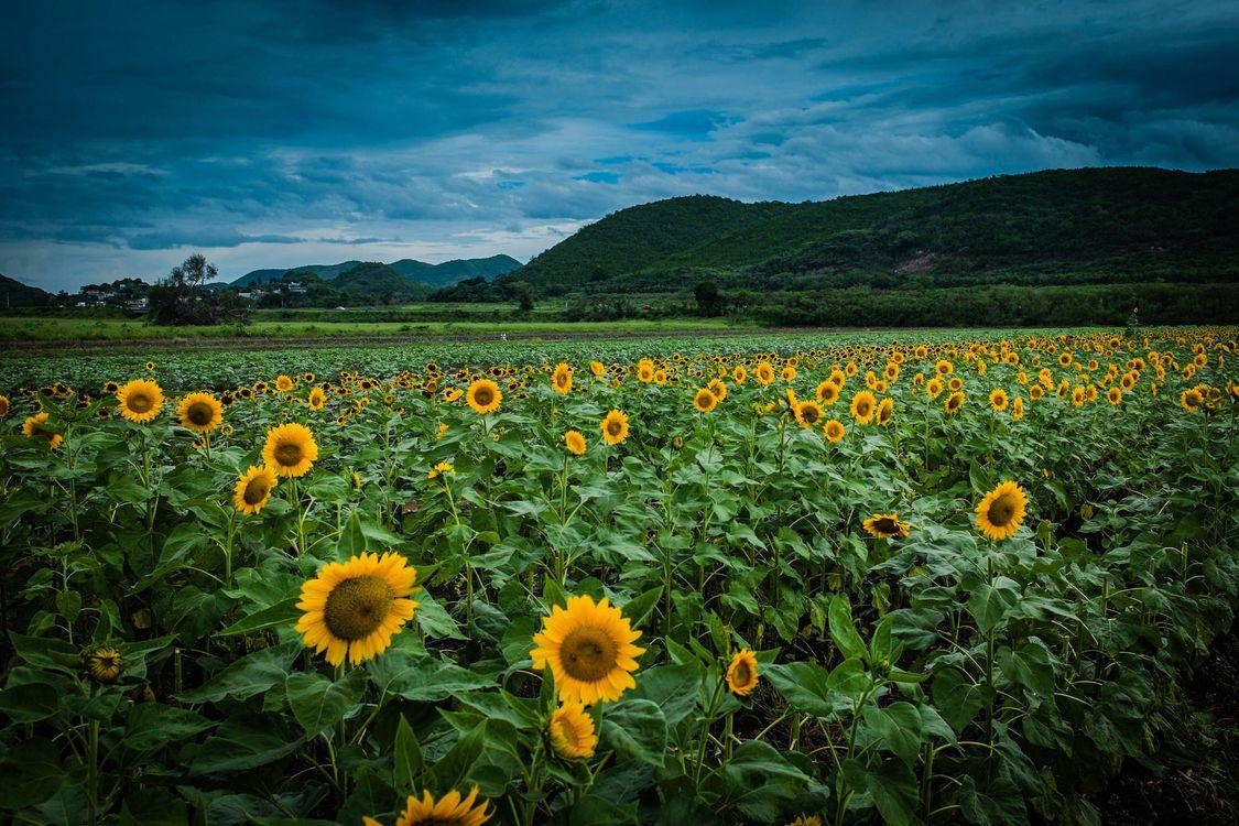 Фото бесплатно закат, поле, цветы, подсолнухи, пейзаж, пейзажи