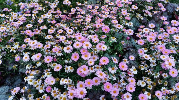 Фото бесплатно Маргаритка, сад, красочный