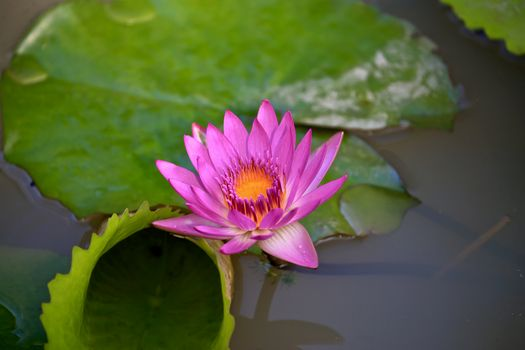 Pictures water lily, water lilies large size