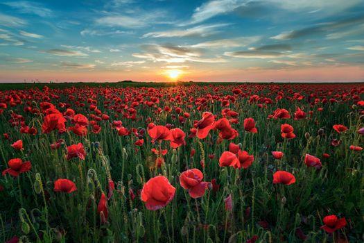 Фото бесплатно маки, цветы, закат