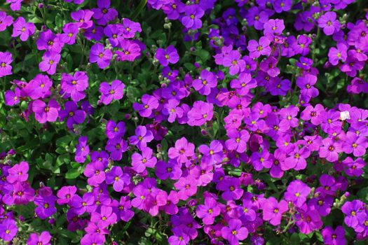 Photo free flowers, violet, many