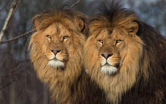Photo free lions, fury, big cats