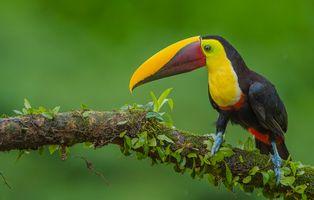 Фото бесплатно Тукан, птица, Ramphastidae