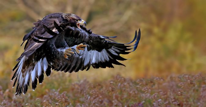 Photo free Golden Eagle, bird, predator