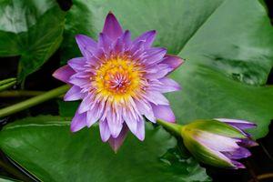Фото бесплатно кувшинки, цветок, водная красота
