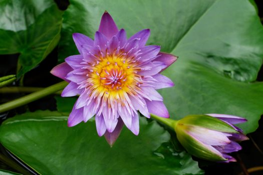 Photo free water lilies, Water Lilies, flower