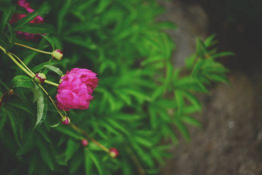 Фото бесплатно пурпурный цветок, капли воды, листья