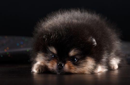 Фото бесплатно шпиц, ленивый, собаки