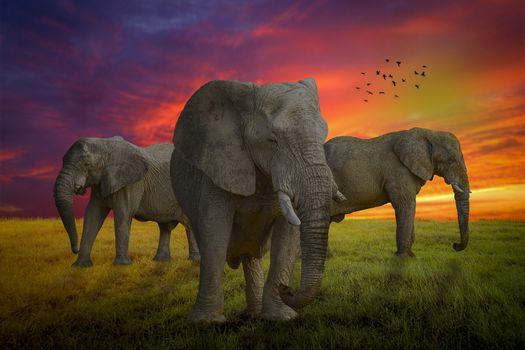 Фото бесплатно закат, поле, слоны