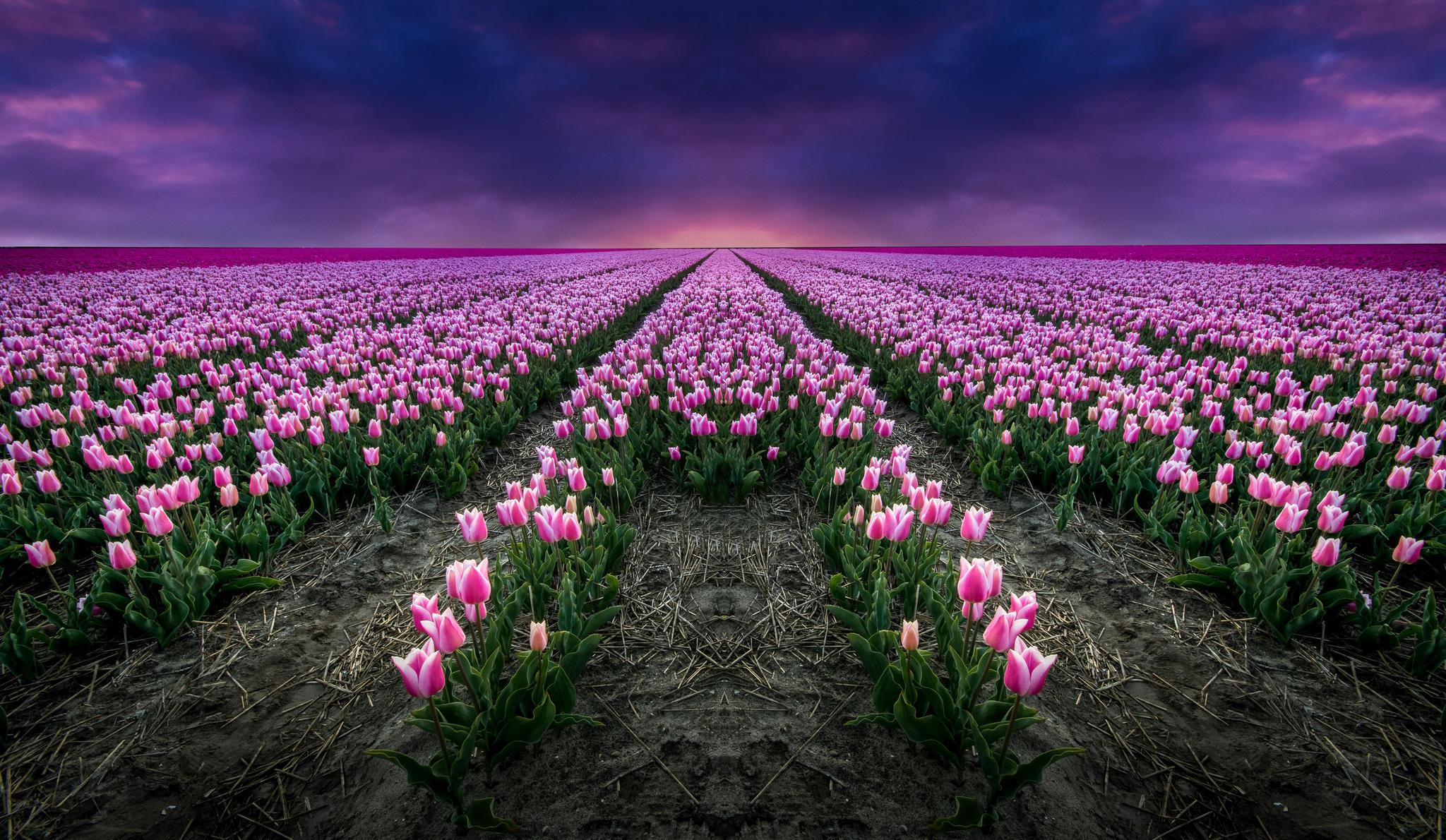 Картинки тюльпанов на рабочий стол, рамки днем