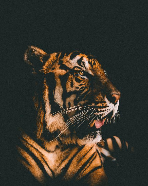 Картинка тигр, морда, хищник, вид, темный фон, tiger, muzzle, predator, view, dark background на рабочий стол. Скачать фото обои кошки