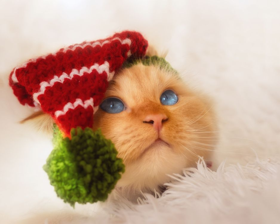 Фото животные кошки зимняя шапка - бесплатные картинки на Fonwall