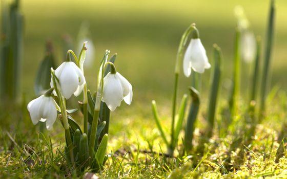 Фото бесплатно подснежники, трава, весна