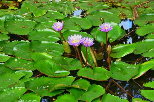 Pictures free water lily, water lilies - desktop