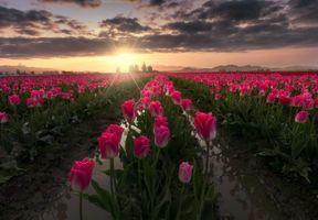 Бесплатные фото закат,поле,цветы,тюльпаны,флора,пейзаж