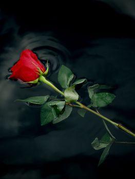 Самая красивая роза
