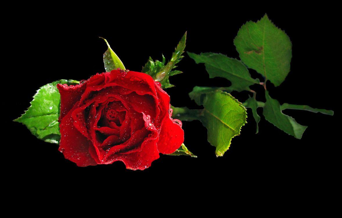 Роза и лепестки · бесплатное фото