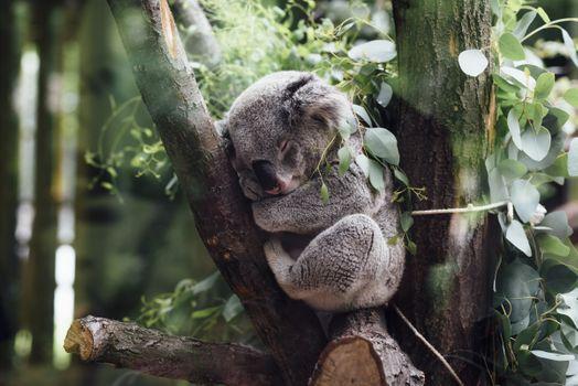 Photo free koala, tree, sleep