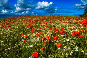 Фото бесплатно цветы, маки, ромашки