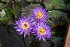 Photo free flower, Water Lilies, pond