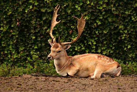 Фото бесплатно животное, олень, рога