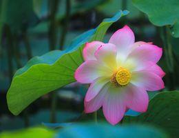 Фото бесплатно красивый цветок, лотос, пруд