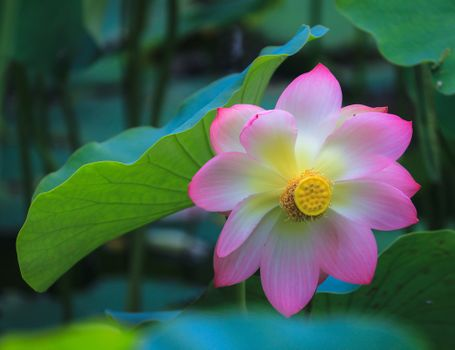Photo free beautiful flower, Lotus, pond