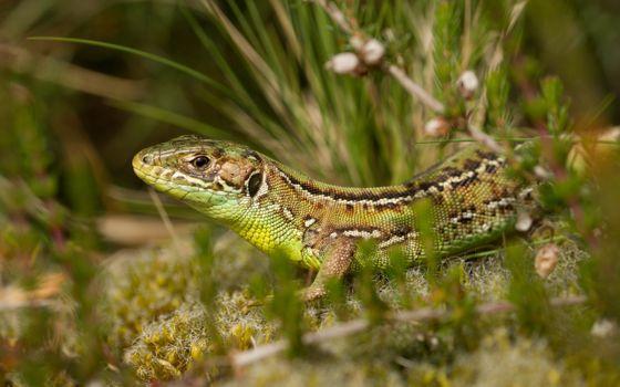 Фото бесплатно ящерица, рептилия, ходьба